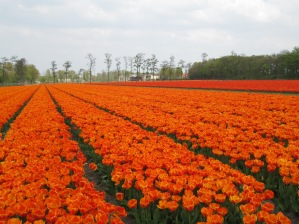 Tulip field in Lisse, Netherlands, 2014